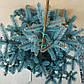 Picea pungens Bialobok, фото 3