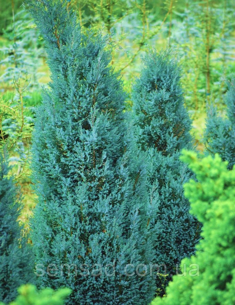 Кипарисовик лавсона Блю Сюрпрайз (р9 10-15см) саженцы