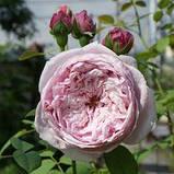 Троянда Спіріт оф Фрідом. (вс). Англійська троянда, фото 3