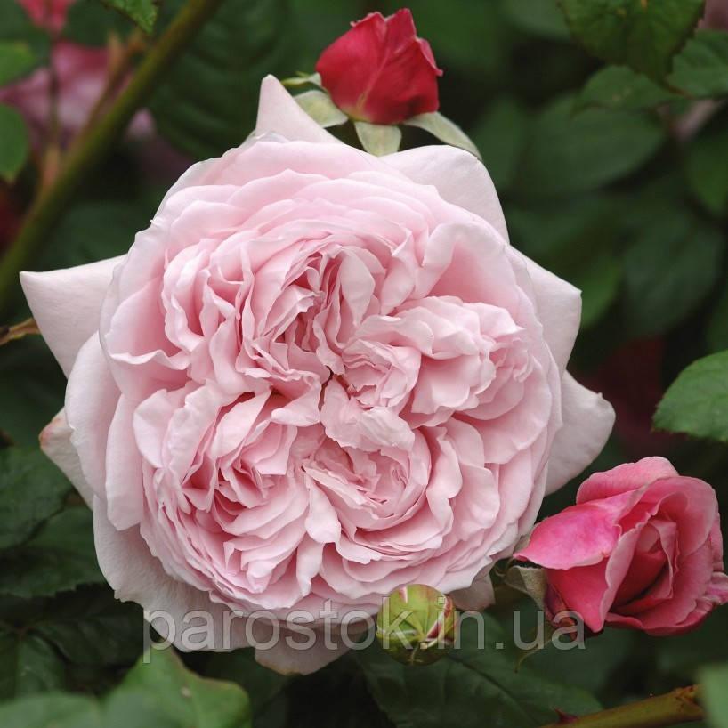 Троянда Спіріт оф Фрідом. (вс). Англійська троянда