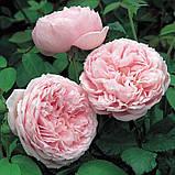 Троянда Спіріт оф Фрідом. (вс). Англійська троянда, фото 4