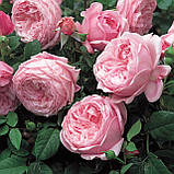 Троянда Спіріт оф Фрідом. (вс). Англійська троянда, фото 2