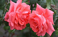 Роза Ди Ди Бриджвоутер. Плетистая роза