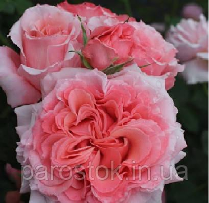 Роза Лоран Каброль. Чайно гибридная роза
