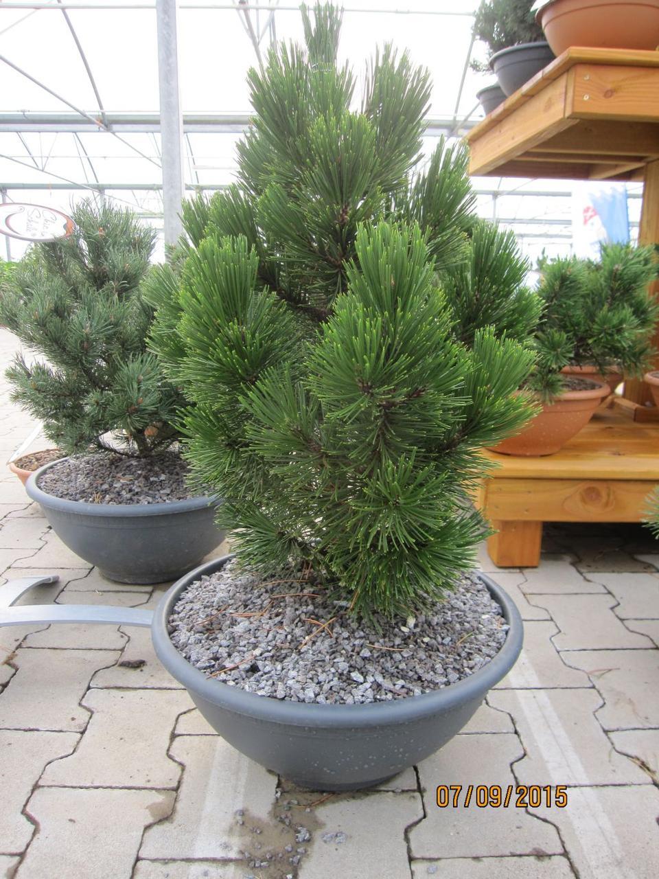 Pinus leucodermis Little Dracula