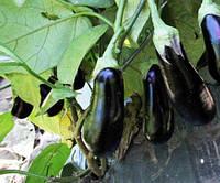 Семена баклажана Караман F1 (1000семян) Libra Seeds (Erste Zaden)