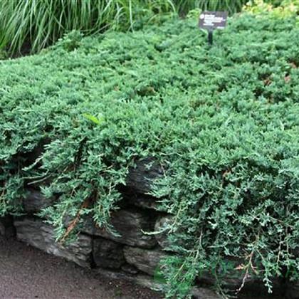 Ялівець горизонтальний Wiltonii (Горщик З 3 D 25 см)