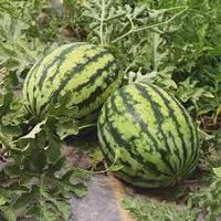 Семена арбуза Брэндон F1 (1000 шт) Libra Seeds (Erste Zaden)