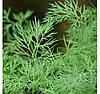 Семена укропа Мега Тетра F1 (500 000сем.) Libra Seeds (Erste Zaden)