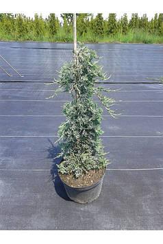Ялівець горизонтальний Wiltonii на бамбуку (Висота 0.8 м)