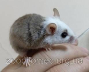 Декоративная карликовая крыса домашнего разведения
