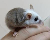 Декоративная карликовая крыса домашнего разведения, фото 1