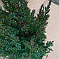 Juniperus chinensis Stricta, фото 3