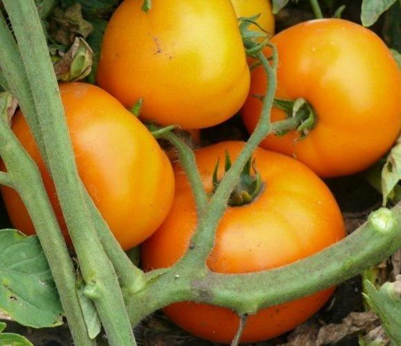 Насіння томату Світ Сан F1 (500 сем.) Lark Seeds