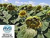 Семена подсолнечника ЗЛАТСОН, Купить высокоурожайный и засухоустойчивый гибрид Златсон, Экстра