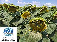 Семена подсолнечника ЗЛАТСОН, Купить высокоурожайный и засухоустойчивый гибрид Златсон, Экстра, фото 1