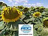 Семена подсолнечника Златсон. Урожайный и олийный гибрид Златсон устойчив к заразихе A-E и засухе.