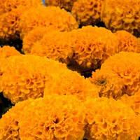 Бархатцы Дискавери F1 оранжевые 5 с (Benary) (перефасовано Vse-semena)