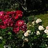 Роза Генри Келси (Henry Kelsey) Плетистая, фото 3