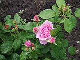Троянда Спіріт оф Фрідом. (вс). Англійська троянда, фото 5
