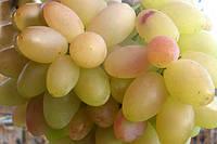 Саженец винограда Верона (ранний)