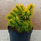 Pinus mugo Winter Gold, фото 2