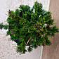 Pinus mugo Teeny, фото 2
