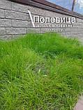 Газон Полевица побегоносная многолетняя низкорослая газонная трава клевер белый спорыш, фото 4