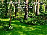 Газон Полевица побегоносная многолетняя низкорослая газонная трава клевер белый спорыш, фото 8