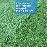 Газон Полевица побегоносная многолетняя низкорослая газонная трава клевер белый спорыш, фото 6