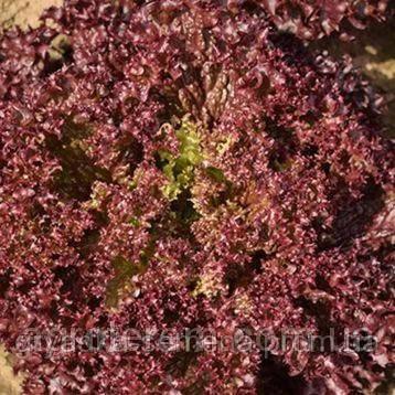 Салат Азирка Enza Zaden 1000 семян