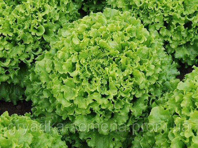 Салат Кайпира Enza Zaden 1000 семян