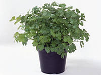 Кориандр Марино Enza Zaden 250 грамм семян