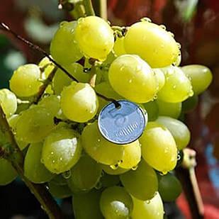 Саженцы Винограда Бажена - раннего срока, крупноплодные, морозостойкий