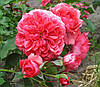 Роза Розариум Ютерзен. (в). Полуплетистая роза.