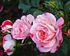 Розенштадт Фрайзинг. Полуплетистая роза.