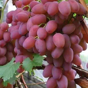 Саженцы Винограда Водограй - раннее-среднего срока, крупноплодный, зимостойкий