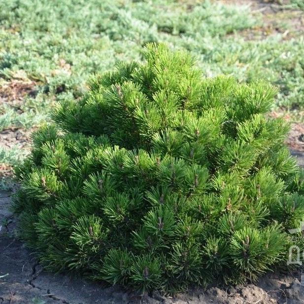 Саджанці Сосни гірської Монтана (Pinus mugo Montana)