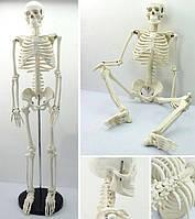 Большая модель скелета детализированная фигурка скелета анатомический скелет человека 45см