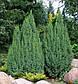 Juniperus squamata Loderi, фото 2