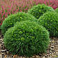Pinus mugo Varella, фото 2