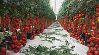 Как сажать помидоры в теплице и повысить урожайность