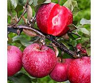 Саженцы красномясого сорта яблони Сирена