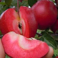 Саженцы красномясого сорта яблони Ред Кетти