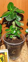 Адениум Mini Size (растение)