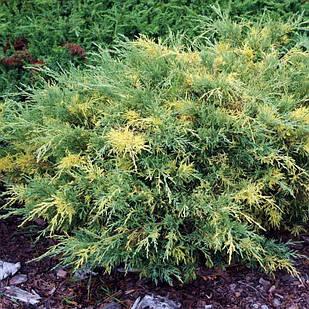 Саженцы Можжевельника среднего Блю энд Голд (Juniperus рfitzeriana Blue and Gold)