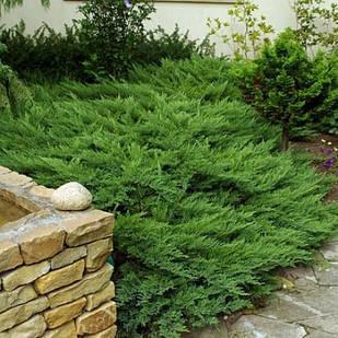Саженцы Можжевельника казацкого Тамарисцифолия(Juniperus sabina Tamariscifolia) 3-х летний