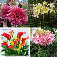 Луковицы и клубни цветов с международным сертификатом качества. Гигантские сорта. Мировые бренды.