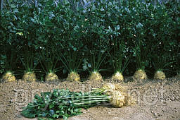 Сельдерей Илона Bejo Zaden 10 000 семян