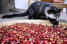 Знаменитый легендарный кофе Копи Лювак от фабрики Montana 100 г шоколадный вкус без кислинки, фото 2